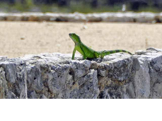 Cayman Wildlife - Geckos keep you company often